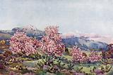 Almond Blossom, Valley of Orotava