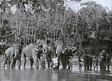 Sacred Elephants Bathing in the Mahaweli Ganga at Kadugastotta