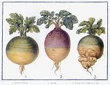 Chief Varieties of Green-Crop
