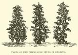 Types of the Champagne Vines in Bearing