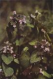 Wild flowers: Red Dead Nettle