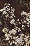 Wild flowers: Blackthorn