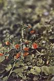 Wild flowers: Scarlet Pimpernel