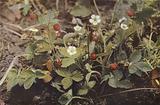 Wild flowers: Wild Strawberry