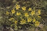 Wild flowers: Lesser Celandine