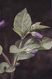 Wild flowers: Deadly Nightshade