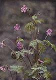 Wild flowers: Herb Robert