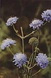 Wild flowers: Field Scabious