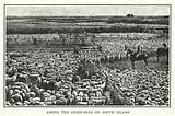Among the sheep-pens on South Island