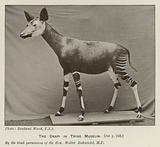 The Okapi in Tring Museum