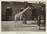 Daisy, Ward's Giraffe