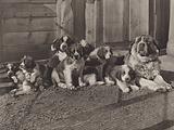 Switzerland: The famous St Bernard Dogs