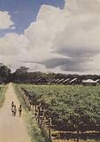 Nursery for young rubber trees, Sungei Rabai Estate, Malaya