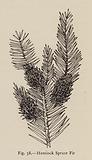 Hemlock Spruce Fir
