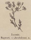Le Vocabulaire Illustre: Jacobee; Ragwort; Jacobskraut