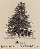 Le Vocabulaire Illustre: Meleze; Larch-tree; Larchenfichte
