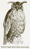 Great Eagle Owl (Bubo Maximus)
