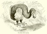 The Dodo (Didus Ineptus)