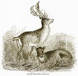 Fallow Deer (Dama Vulgaris)