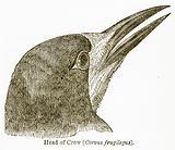 Head of Crow (Corvus Frugilegus)