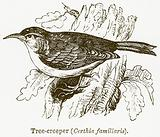 Tree-Creeper (Certhia Familiaris)