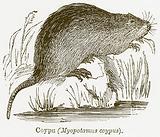 Coypu (Myopotamus Coypus)