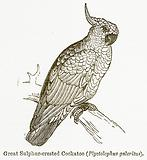 Great Sulphur-Crested Cockatoo (Plyctolophus Galeritus)