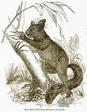 Aye-Aye (Chiromys Madagascariensis)