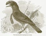 The Umbrella-Bird (Cephalopterus Ornatus)