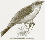 Ortolan (Emberiza Hortulana)