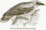 Golden Oriole (Oriolus Galbula)