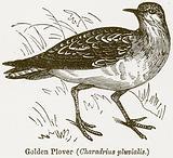 Golden Plover (Charadrius Pluvialis)