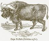 Cape Buffalo (Bubalus Caffer)