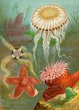 Sea Jellies and Sea Stars