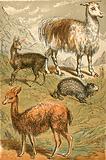 Musk Deer, Llama, Vicunia and Sooty Paca
