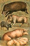 Wild Boar, Wart Hog, Peccary, Sow and Pigs