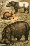 Cape Anteater, Malay Tapir and Hippopotamus