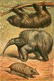 Three Toes Sloth, Great Anteater and Armadillo