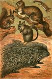 Flying Squirrels, Common Squirrel, Chinchilla and Porcupine
