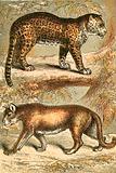 Jaguar and Puma