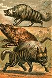 Aard Wolf, Spotted Hyena and Striped Hyena