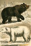 Brown Bear and Polar Bear