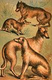 Jackal, Wolf, Irish Wolfhound and Deerhound