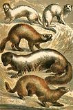 Stoat, Ermine, Polecat, Skunk and Mink or Minx