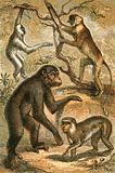 Silvery Gibbon, Proboscis Monkey, Chimpanzee and Barbary Ape