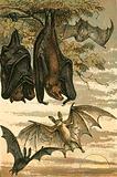 Flying Fox, Vampire Bat, Common Bat and Spectre Vampire