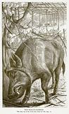 Wild Boar of Palestine