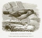 The Blue Thrush, or Sparrow of Scripture