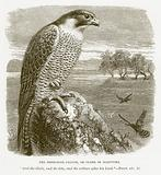 The Peregrine Falcon, or Glede of Scripture
