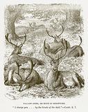 Fallow-Deer, or Hind of Scripture